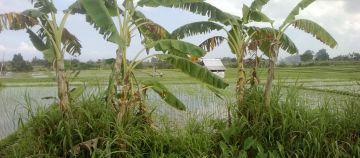 Ricefield Land for Sale in Seseh Cemagi 5 Minutes to Beach